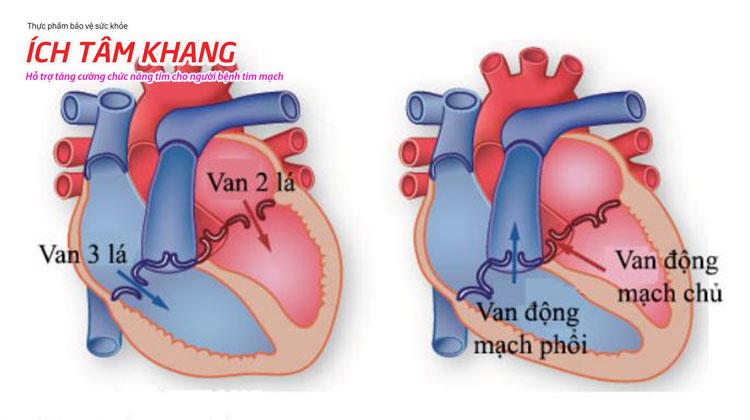 Vị trí của 4 van tim: Van 2 lá, van 3 lá, van động mạch chủ và van động mạch phổi