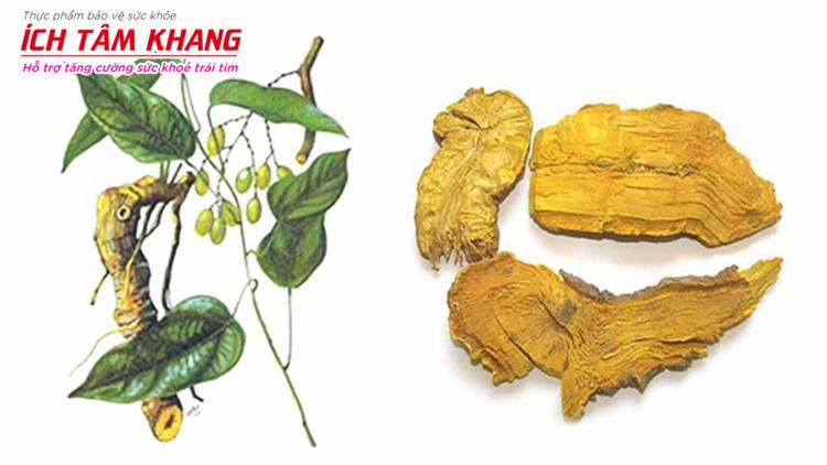 Berberine có mặt với hàm lượng lớn trong thảo dược Hoàng đằng