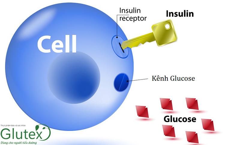 Insulin tham gia vào quá trình vận chuyển đường từ máu vào trong tế bào