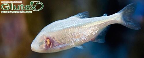 Nghiên cứu về loài cá tuyết Mexico có thể manh mối tìm ra cách chữa khỏi tiểu đường type 2